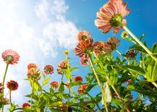 Fleurs d'automne de Zinnia Images libres de droits