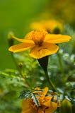 Fleurs d'Autumn Tagetes Photographie stock