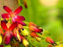 Fleurs d'Averrhoa d'Oxalidaceae de Magnoliopsida Photographie stock libre de droits