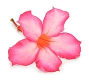 Fleurs d'azalée Images stock