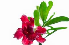 Fleurs d'azalée Photo stock