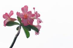 Fleurs d'azalée Photos libres de droits