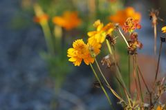 Fleurs d'azalée de Sims fleurissant sous le soleil Photos libres de droits