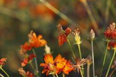 Fleurs d'azalée de Sims fleurissant sous le soleil Images stock