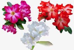 Fleurs d'azalée d'isolement sur le fond blanc images stock