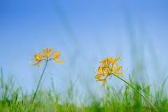 Fleurs d'or de Lycoris images stock