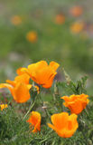 Fleurs d'or de pavot de la Californie Photographie stock