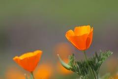 Fleurs d'or de pavot de la Californie Photo libre de droits