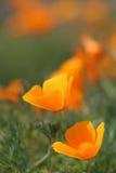 Fleurs d'or de pavot de la Californie Image libre de droits