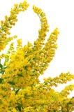 Fleurs d'or du Canada Photos stock