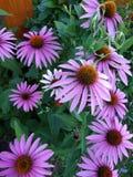 Fleurs d'Echinacea éternelles avec les propriétés médicinales images libres de droits