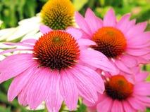 Fleurs d'Echinacea photographie stock