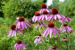 Fleurs d'Echinacea Image libre de droits