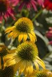 Fleurs d'Echinacea Photographie stock libre de droits