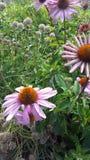 Fleurs d'Echinacea images stock