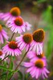 Fleurs d'Echinacea dans un jardin Images stock