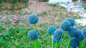 Fleurs d'Echinops Images libres de droits