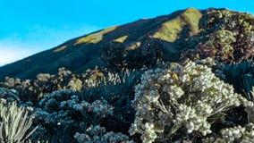 Fleurs d'edelweiss photo stock