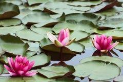 Fleursd'encre de Ð des nénuphars et des feuilles rondes vertes des lis Photo stock