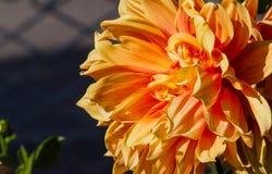 Fleurs d'espèces de dahlia les belles de toutes les formes et couleurs sont très attirantes Force de tige Images libres de droits