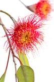 Fleurs d'eucalyptus Image libre de droits