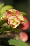 Fleurs d'euphorbe Photographie stock libre de droits