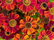 Fleurs d'helenium dans la fleur Image libre de droits