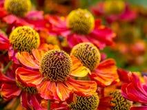 Fleurs d'helenium dans la fleur Images stock
