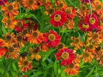 Fleurs d'helenium dans la fleur Photos stock