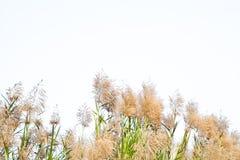 Fleurs d'herbe Photographie stock
