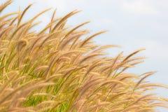 Fleurs d'herbe Images libres de droits