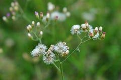 Fleurs d'herbe dans l'arrière-cour avec le fond de tache floue photo stock