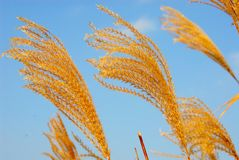 Fleurs d'herbe dans la lumière de soirée Photo libre de droits