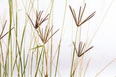 Fleurs d'herbe de Bermudes Photo stock