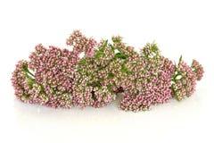 Fleurs d'herbe de valériane photographie stock