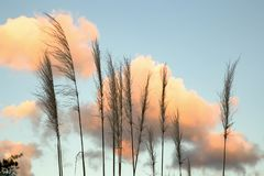 Fleurs d'herbe des pampas et nuages pelucheux photo stock