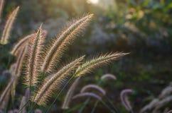 Fleurs d'herbe du lever de soleil Photo libre de droits