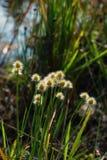 Fleurs d'herbe en nature photographie stock libre de droits