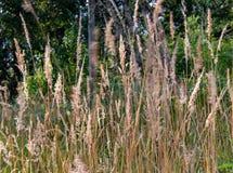 Fleurs d'herbe soufflé par le vent photos stock