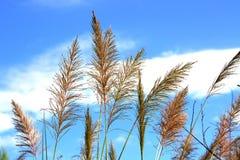 Fleurs d'herbe sous le ciel nuageux bleu Image libre de droits