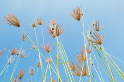 Fleurs d'herbe sur le champ Image libre de droits