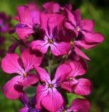 Fleurs d'honnêteté Image stock