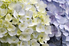 Fleurs d'hortensia Photos libres de droits