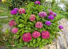 Fleurs d'hortensia Photo libre de droits