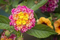 Fleurs d'hortensia de Colorfull Image libre de droits