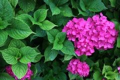 Fleurs d'hortensia et feuillage vibrant après une douche de pluie photographie stock libre de droits