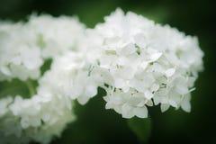 Fleurs d'hortensia lisse Image libre de droits