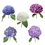 Fleurs d'hortensia réglées Image libre de droits