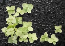 Fleurs d'hortensia sur un fond noir humide Photographie stock libre de droits