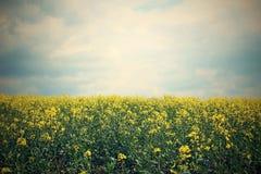 Fleurs d'huile de colza dans le domaine Photographie stock libre de droits
